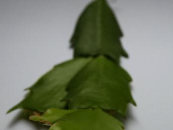 Detail Christmas cactus