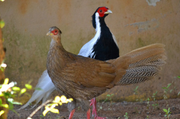 Couple of Silver pheasant