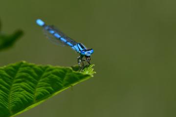 Zümrüt renkli kızböceği - Lestes macrostigma