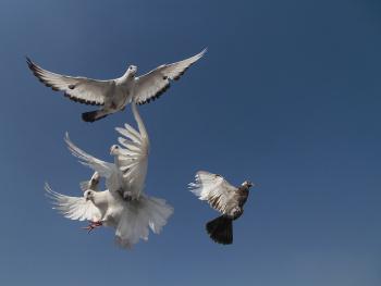 Güvercinler...