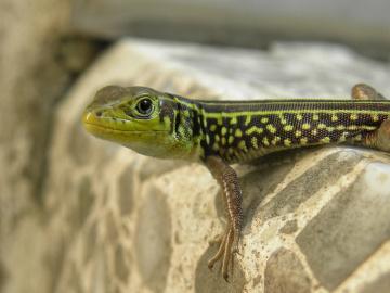 Levant green lizard