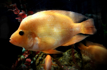 Fish Carpa