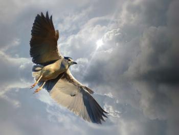 Gece balıkçılı » Black-crowned Night Heron » Nycti
