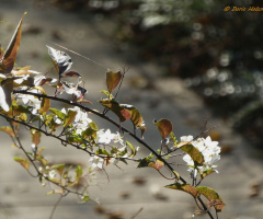 Flowering branch in winter