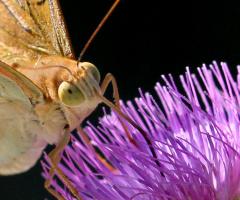 Kelebek Detay