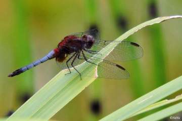 Blue and red Dragonfly