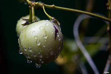 Pepino Meyvesi