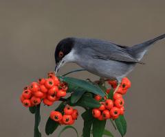 Maskeli ötleğen » Sardinian Warbler » Sylvia melan