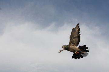 Pigeon of Mardin