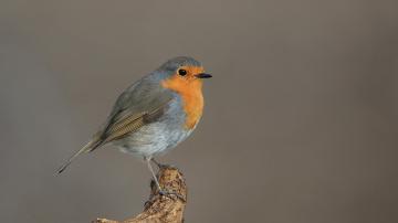 KIZILGERDAN - European Robin
