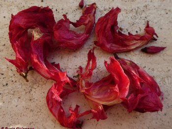 The end of the Christmas cactus flowers
