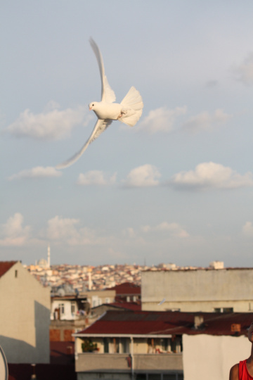Pigeon of Mardin 2