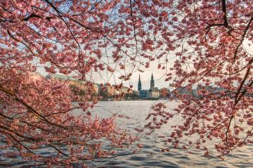 Cherry blossom season