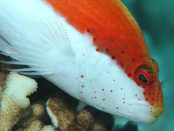 Forster's Hawkfish-Kızıldeniz