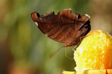 Caligo brasiliensis