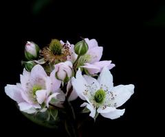 Böğürtlen Çiçeği