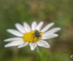 Papatya üzerinde minik bir böcek ziyaretçi