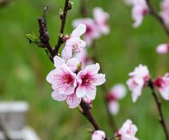 Kayısı Çiçekleri