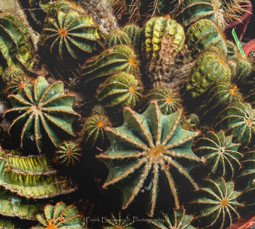 Sonoran Desert Cacti