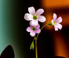 Uyku Çiçeği