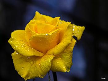 Yağmur Tanecikleri