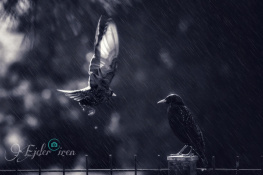 Sığırcık Kuşu-1