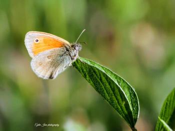 Kelebek-1