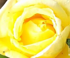 Sarı kız