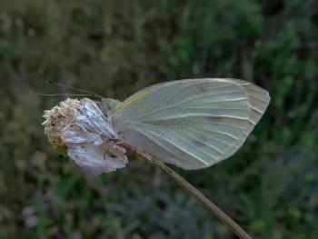 Kelebek 29 05 2020