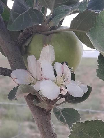 Vefalı Elma Ağacım