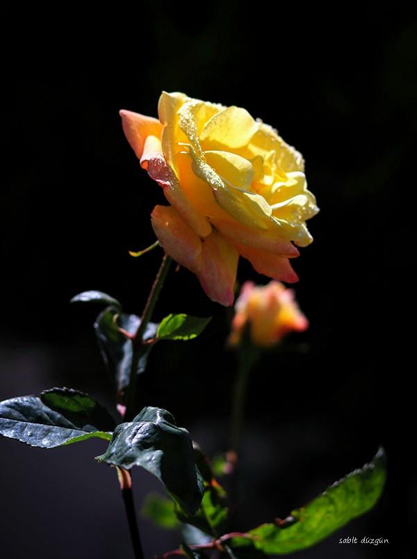 Sarı gül & Sıcak sevgi