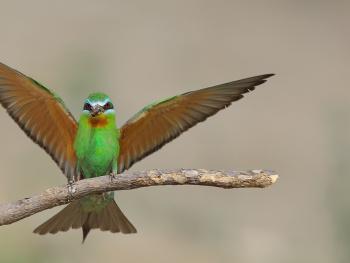 Yeşil arıkuşu » Blue-cheeked Bee-eater » Merops pe