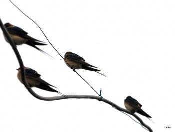 Kırlangıç Kuşları