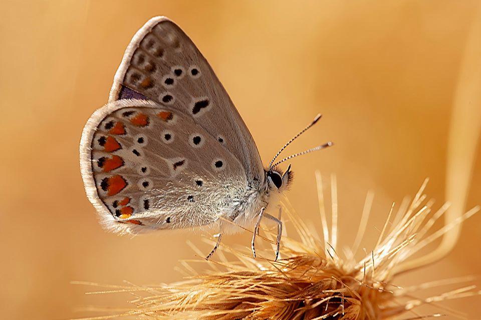 Kelebek ( Çokgözlü Mavi )