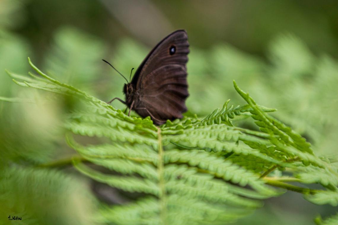 Kara Kelebek