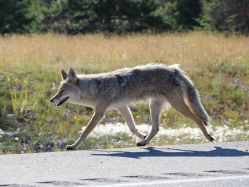 Wile E. Coyote