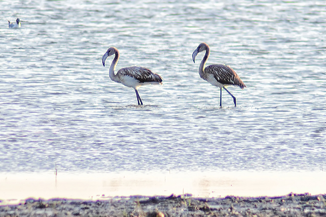 Flamingolar - ~300 metreden