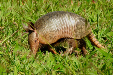 Tatu (Dasypodidae)