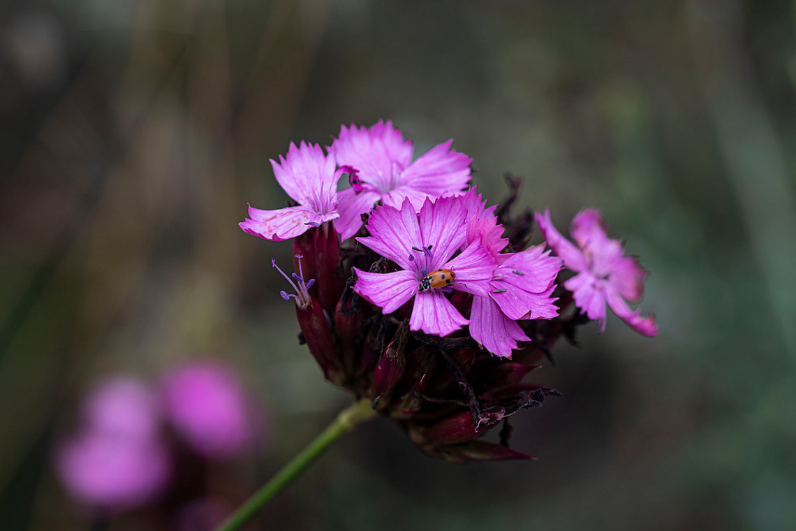 Çiçekdeki Uğurböceği