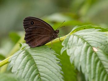 Siyah Kelebek