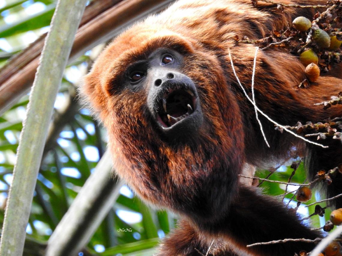 Bugio Monkey