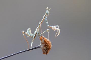 Peygamber Devesi (Mantis -2)