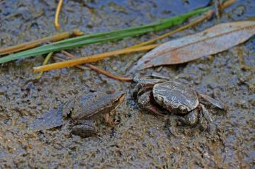 Bir küçük yengeç ve kurbağa meselesi...