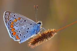 Çok gözlü mavi
