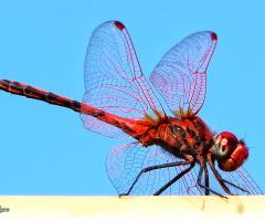 Yusufçuk ( Anisoptera )