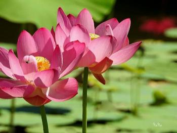 Lotus flower's