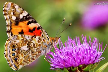 Hayat Bir Kelebeğin Ömrü Kadardır.