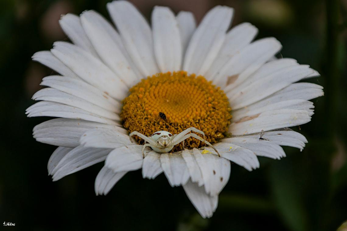 Papatya ve Örümcek