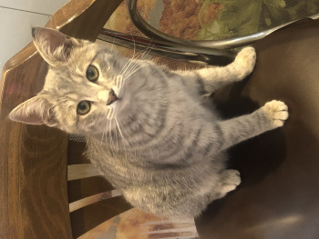 Asuman kedi
