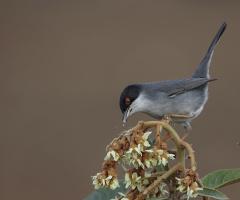 Maskeli ötleğen » Sylvia melanocephala » Sardinian
